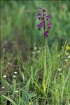 Photo 4/6 Anacamptis laxiflora (Lam.) R.M.Bateman, Pridgeon & M.W.Chase