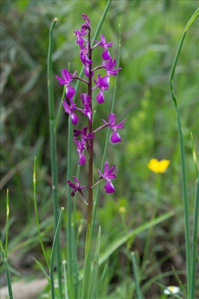 Anacamptis laxiflora (Lam.) R.M.Bateman, Pridgeon & M.W.Chase