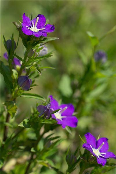 Legousia speculum-veneris (L.) Chaix