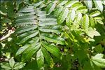 Pterocarya fraxinifolia (Poir.) Spach