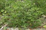 Photo 4/4 Artemisia verlotiorum Lamotte