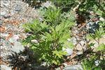 Photo 3/4 Artemisia verlotiorum Lamotte