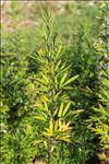 Photo 1/4 Artemisia verlotiorum Lamotte