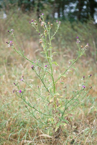 Carduus crispus subsp. multiflorus (Gaudin) Franco