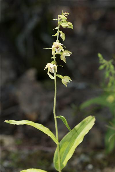 Epipactis helleborine (L.) Crantz subsp. helleborine