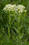 Photo 1/2 Lepidium draba L.