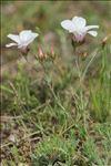Linum suffruticosum L.