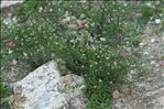 Photo 6/7 Lepidium graminifolium L.