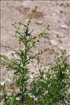 Photo 5/7 Lepidium graminifolium L.