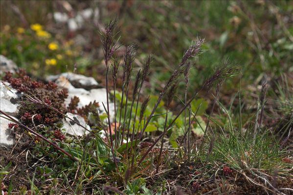 Poa bulbosa subsp. bulbosa var. vivipara Koeler