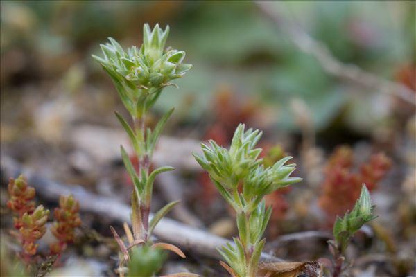 Scleranthus annuus subsp. polycarpos (L.) Bonnier & Layens