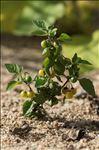 Photo 1/1 Solanum nigrum L. subsp. nigrum