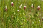 Trifolium incarnatum var. molinerii (Balb. ex Hornem.) Ser.