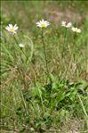 Leucanthemum vulgare (Vaill.) Lam.