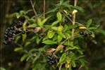 Photo 4/4 Ligustrum vulgare L.