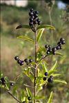 Photo 3/4 Ligustrum vulgare L.