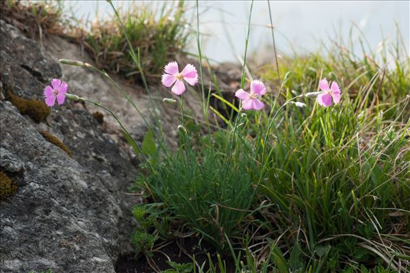 Dianthus saxicola Jord.