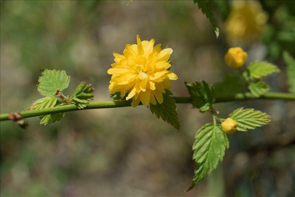 Kerria japonica (L.) DC.