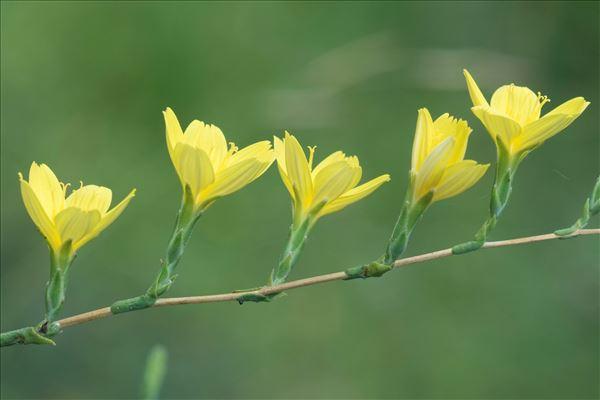 Lactuca viminea subsp. chondrilliflora (Boreau) St.-Lag.