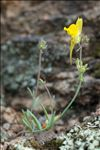Photo 5/7 Linaria supina (L.) Chaz.