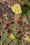 Linaria supina (L.) Chaz.