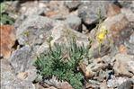 Linaria supina subsp. pyrenaica (DC.) Nyman