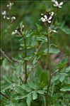Raphanus raphanistrum L. subsp. raphanistrum