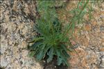 Photo 1/7 Anarrhinum bellidifolium (L.) Willd.