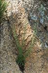 Anarrhinum bellidifolium (L.) Willd.