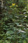 Photo 5/7 Senecio ovatus subsp. alpestris (Gaudin) Herborg