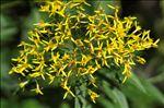Photo 3/7 Senecio ovatus subsp. alpestris (Gaudin) Herborg