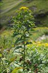 Photo 1/7 Senecio ovatus subsp. alpestris (Gaudin) Herborg