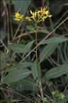 Photo 6/7 Senecio ovatus subsp. alpestris (Gaudin) Herborg