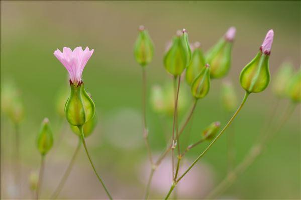 Vaccaria hispanica (Mill.) Rauschert