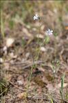 Linum usitatissimum subsp. angustifolium (Huds.) Thell.