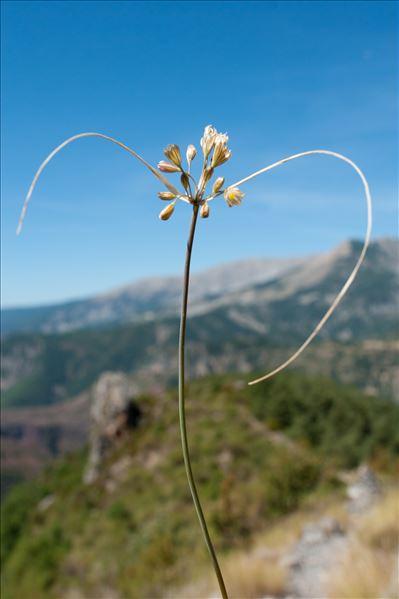 Allium longispathum D.Delaroche