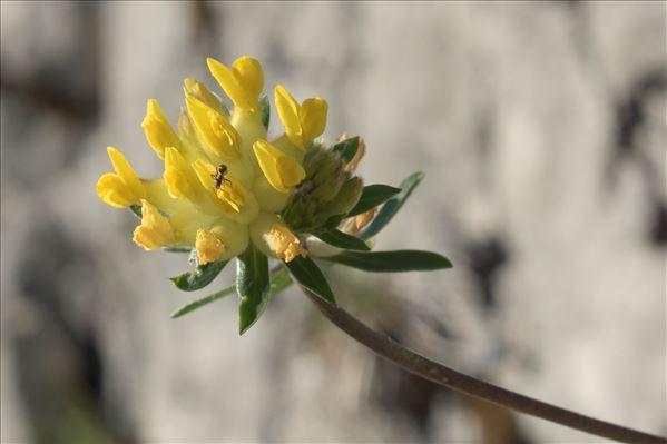 Anthyllis vulneraria L. subsp. vulneraria var. vulneraria