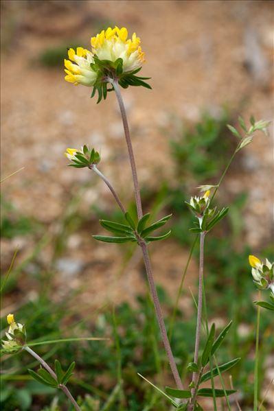 Anthyllis vulneraria L. subsp. vulneraria