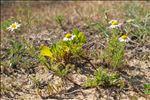 Photo 4/4 Tripleurospermum maritimum (L.) W.D.J.Koch