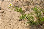 Tripleurospermum maritimum (L.) W.D.J.Koch
