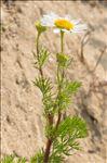 Photo 3/4 Tripleurospermum maritimum (L.) W.D.J.Koch