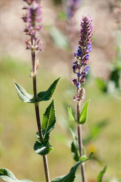 Salvia nemorosa L. subsp. nemorosa