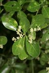 Euonymus japonicus L.f.