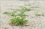 Rumex pulcher L. subsp. pulcher