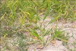 Panicum miliaceum L. subsp. miliaceum