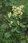 Primula elatior (L.) Hill subsp. elatior