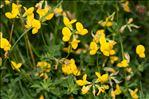 Photo 1/1 Lotus corniculatus L.