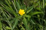 Photo 3/3 Ludwigia grandiflora (Michx.) Greuter & Burdet
