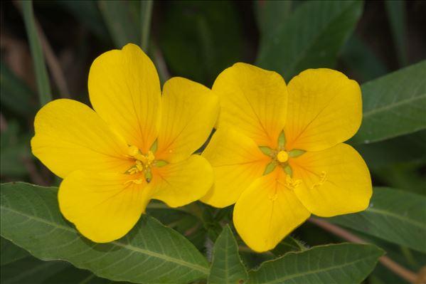 Ludwigia grandiflora (Michx.) Greuter & Burdet