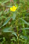 Photo 1/4 Ludwigia grandiflora (Michx.) Greuter & Burdet